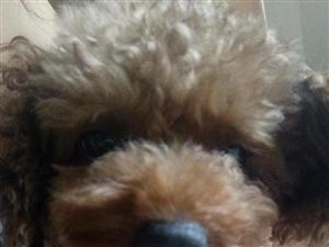 泰迪狗宠物狗