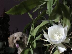 题昙花瑶池碧玉入凡尘,化作名花为我邻。今夜幽幽姿暗绽,雍容醉了有缘人。