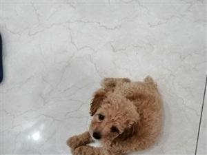朋友送的五十天泰迪弟弟,因上班没时间照顾,寻一爱狗人士领回家好好照顾,刚买二十斤狗狗粮和狗笼一起