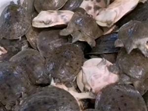 中华鳖的价格居然跟小龙虾差不多,比猪肉便宜的多。