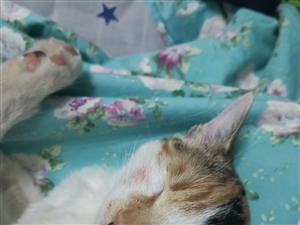 寻找我的小三花猫咪布丁