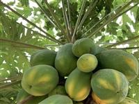 在龙南也能种出超大的木瓜,可见土壤肥沃~