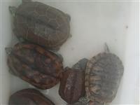 8年宠物草龟出售