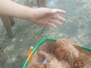 泰迪幼犬纯种已断尾