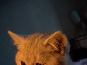 雷竞技电竞平台美短,虎斑,起司小猫