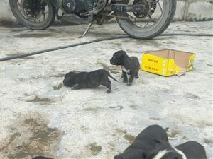 斯坦福幼犬出售,可以打野猪喔