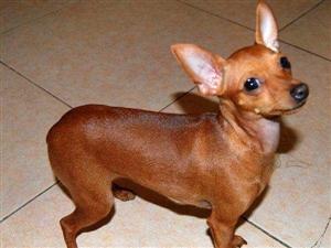 自家�B的小鹿犬出售