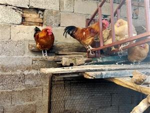 农村的老公鸡