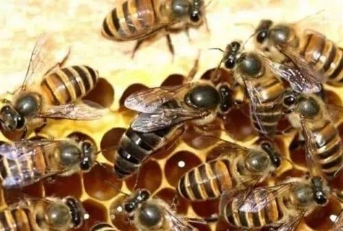 岀售蜂王大量供应**蜂王,中蜂群 蜂蜜强群,高产蜂王  蜂王岀售蜂群(箱蜂笼蜂,)**蜂王从而培育 ...