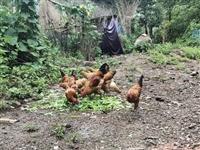 奶奶喂的家鸡,粮食和蔬菜喂养,还有土鸡蛋,有需要的可以联系。