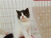 小蓝猫蓝白,家养 自己家大猫生的,低价!生日7.22,等到9.22满两个月就可以接回新家啦!包健康...
