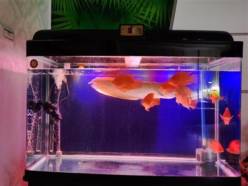 森森1.2米鱼缸8条手撑大的鹦鹉,一条600+大银龙加热棒,冲浪泵,森森循环泵,打包1200,先到先...
