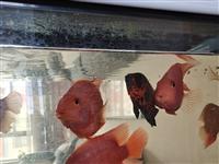 便宜出售自己修的元寶櫻鵡魚,規格13O一150以上,現便宜出售,每條60元,聯系電話/1533987...