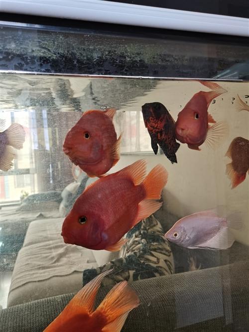 便宜出售自己修的元宝樱鹉鱼,规格13O一150以上,现便宜出售,每条60元,联系电话/1533987...