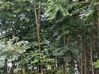 出售自家农田所植红油香椿树,径粗七八公分至十几公分不等,可做绿化,粗的已达木材之用,细的也用做采芽...