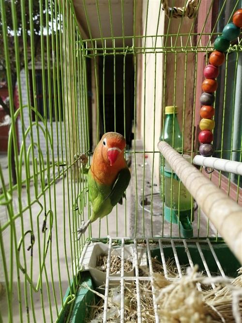 暑假給孩子買的牡丹鸚鵡,現在轉賣,限湯陰縣自提,籠子和一只牡丹鸚鵡共50元