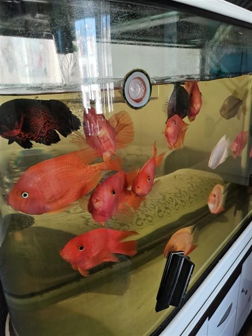 本人养的热带鱼,现忍痛割爱便宜处理了,鹦鹉鱼180㎜每条80元,金波萝150㎜每条90元,白子银板1...