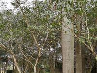 转让一批花梨树苗7~8年树龄