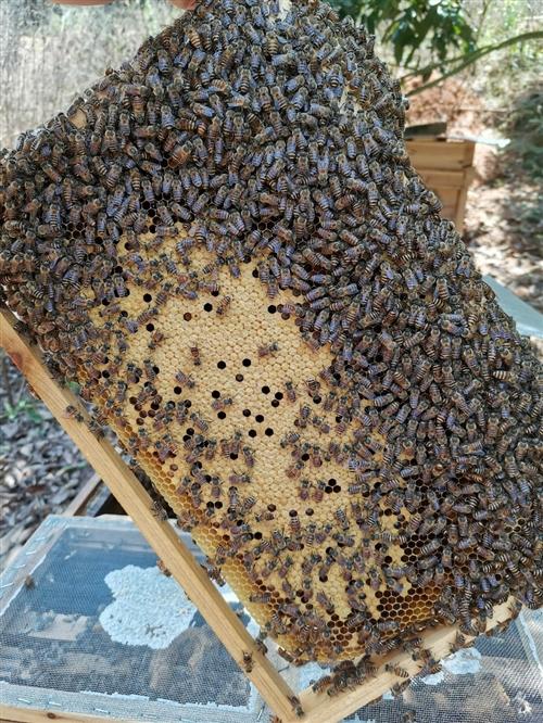 低价转让中蜂蜂群。