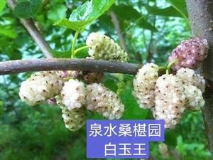 萊陽泉水桑椹采摘園6月6日開園了