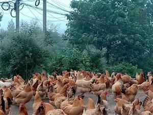 出售散养土鸡,土鸡蛋