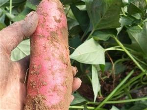 大量红薯出售(西瓜红)