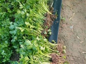 出售新茬地芹菜苗 法国皇后 苗粗苗壮  根系发达?