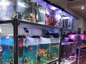 白沙七坊金鱼观赏鱼鱼缸鱼料出售