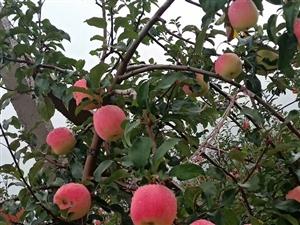 华硕苹果开售