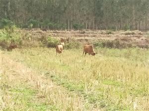 出售本地小黄牛