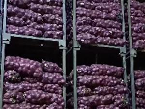 大量批发紫红洋葱