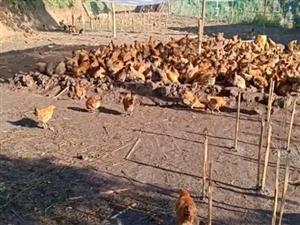 生態散養土雞