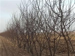 个人五年晚红李子树出售