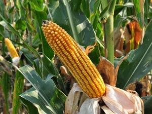 天龍9號制種玉米