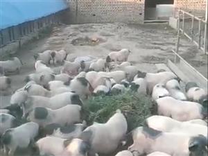 出售猪肉,散养香猪肉