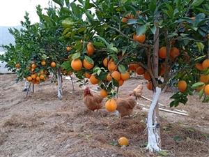 出售2000斤脐橙