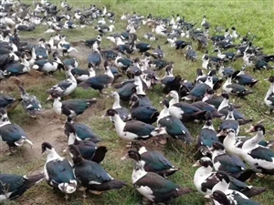 八所出售常年散养番鸭