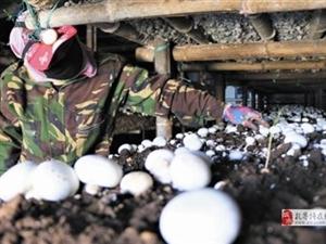 小蘑菇�纹稹爸赂�恪�