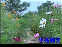六月末,高坪圆龙村的向日葵的已经开始丰收了,但是格桑花还在开哦