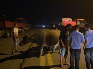 国道上有三头牛?接警后民警到处找主人