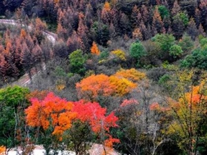 深秋的巴山林,又到了一年中最美的季�