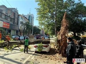 寻乌:强风刮倒大树压坏多辆轿车,多部门紧急抢险!