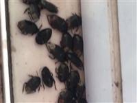 我家昨晚也遭到虫子攻击了!几百上千只,门外走道都是,有图,怕虫的别进来