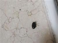 有谁知道这黑虫子叫啥!在我的书房每天都能弄死几个这样的黑虫子,可怕