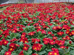 揭陽草花批發-揭陽鮮花都在哪里批發