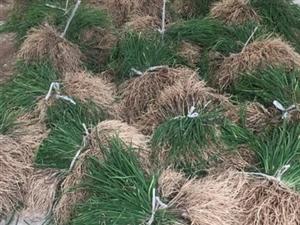 韭菜苗,两元一斤,大量现货供应!
