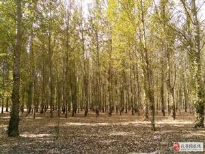 本人有105畝林地35萬出售