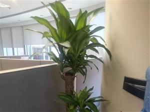 固安办公室植物花木盆栽租赁租摆公司