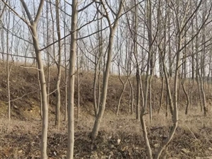 老家里种的30多年的杜仲树处理