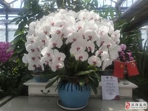 母亲节特惠  辽宁省农科院蝴蝶兰研发中心为您表心意
